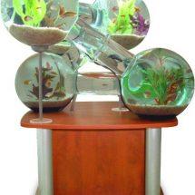 Fotografía lateral de un acuario conformado por seis esferas comunicadas por canales que permiten a los peces ingresar en cada uno de los habitáculos, todo sobre una mesa de madera color cereza.